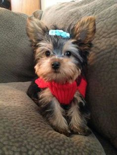 """""""When is the company arriving?"""" #dogs #pets #YorkshireTerriers Facebook.com/sodoggonefunny"""