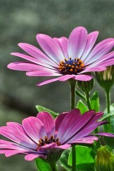 cseppecske, viharvirág, Osteospermum