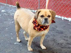 SAFE 1/10/15 --- Manhattan Center   LILLY - A1024699  SPAYED FEMALE, TAN / BLACK, PUG / BEAGLE, 6 yrs STRAY - EVALUATE, NO HOLD Reason OWNER SICK  Intake condition EXAM REQ Intake Date 01/04/2015, From NY 10027, DueOut Date 01/04/2015 https://www.facebook.com/photo.php?fbid=940620055950874
