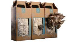 Plante cogumelos dentro de uma caixinha