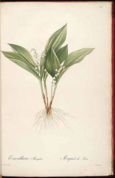 Convallaria majalis L. / Redouté, P.J., Les Liliacées, vol. 4: t. 227 (1805-1816) [P.J. Redouté] Maiglöckchen, Lily of the valley