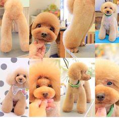 Discover The Poodle Dog Temperament Dog Grooming Styles, Dog Grooming Salons, Dog Grooming Tips, Dog Grooming Supplies, Poodle Grooming, Yorkie Poodle, Toy Poodles, Poodle Puppies, Pet Tips