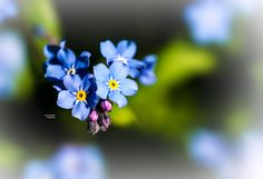 forget-me-not by Horst Buttkau on 500px