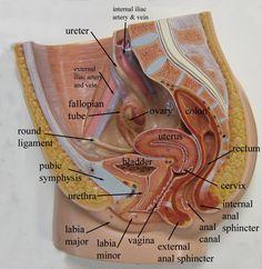 Female reproductive model