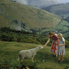 Women pet a shy sheep on a hillside overlooking a green valley in Denbighshire, Wales, 1953.