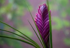 Purple bromeliad flower! How to care for the Vriesea Bromelaid plant!!