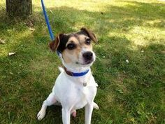 HOUDINI is an adoptable Jack Russell Terrier (Parson Russell Terrier) Dog in Staten Island, NY.  ...