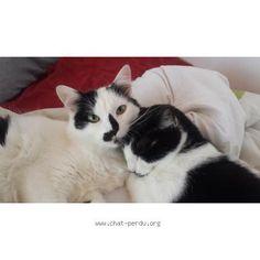 """212411 Chat perdu : """"bouddah""""  Perdu chat, blanc, mâle, poils longs, pelage tacheté. Perdu le 14/10/2015 45300 GIVRAINES (FR)."""