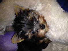 My Yorkie puppy, Desi