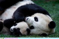 Panda Bear Cuddles