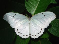 White morpho (Morpho polyphemus) The White Morpho is a white butterfly of Mexico and Central America, ranging as far south as Costa Rica. Morpho Butterfly, White Butterfly, Moth Species, Butterfly Species, Butterfly Quotes, Almost Always, Beautiful Butterflies, Body Art Tattoos, Animals And Pets