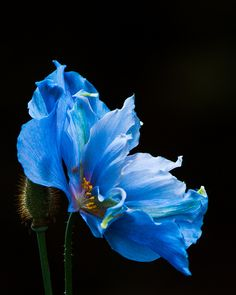 Blue Himalayan poppy, vanDusen gardens, Vancouver by gks18