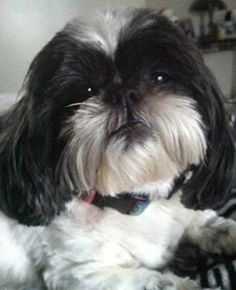 159 Best Dog Breed Shih Tzus Images On Pinterest Cute Dogs