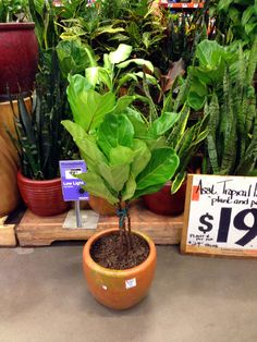 Fiddle Leaf Fig Trees- or Ficus Lyrata. Good place to buy cheap? Home Depot online. Tuck that info away for later