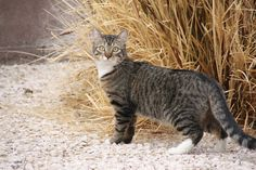 Pictures of California Spangled Cat Cat Breed