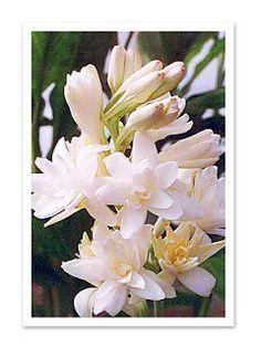 No Meu Jardim: Como plantar e cultivar a Flor Angelica