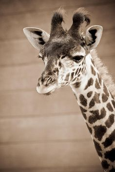 yo Giraffes, My Love, Random, Awesome, Animals, My Boo, Animales, Animaux, Be Awesome