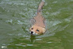 Red Fox by Daniel Saltzmann on 500px