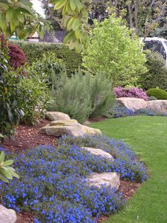 "Blue lithodora - They are low-growing, evergreen shrubs and subshrubs, producing 5-lobed blue or white flowers.[1] The Greek lithodora literally means ""stone gift"", referring to their preferred rocky habitats."