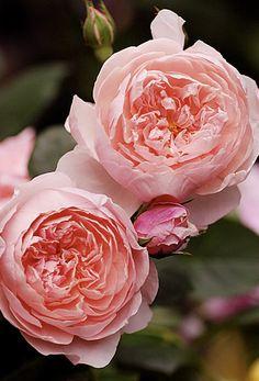 The Alnwick Rose #antiquerose