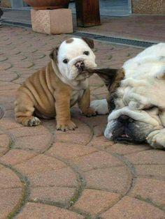 (English) Bulldog - Andrew's bulldog, Bernie