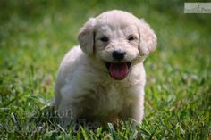 Meet Jack a cute Goldendoodle puppy whose smile will make you laugh.