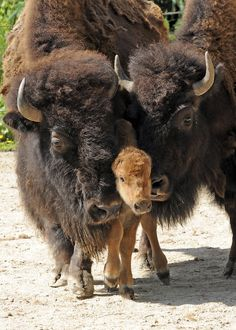 Bison family Kodak moment- Thank You😁👏👏👏👏😁 We built Deerfoot Trail,in Calgary too. Thank You, Bison Family🥁👋👏 The Animals, Baby Animals, Wild Animals, Animal Babies, Zebras, Beautiful Creatures, Animals Beautiful, Baby Bison, Photo Animaliere