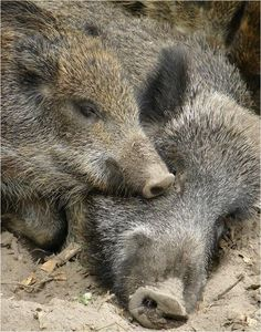 Peccary or Javelina. Animals Of The World, Animals And Pets, Cute Animals, Barn Animals, Peter Wohlleben, Wild Ones, Wild Things, Pet Pigs, Wild Boar