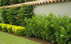 clusia - along garage in front? Florida Landscaping, Privacy Landscaping, Coastal Landscaping, Outdoor Landscaping, Front Yard Landscaping, Outdoor Gardens, Privacy Hedge, Zen Gardens, Clusia