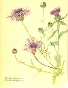 Edith Holden (1871-1920) from 'Nature Notes'