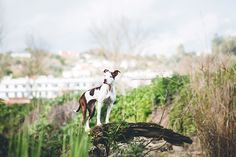 Mariiana Capela photographer Portugal Dog photography Pitbull