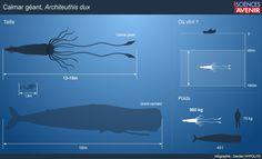 Calmar : une seule espèce pour le géant des mers