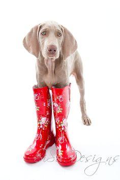 Doggy in Boots, Weimaraner Dogs, weimaraner, weimaraner in boots.