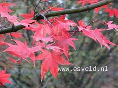 Option to plant midground: Acer palmatum 'Korean Gem' - Deciduous with fantastic fall color, about 20 ft. tall.