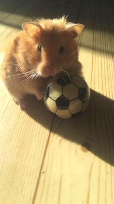 you wana play Cute Animal Memes, Cute Funny Animals, Cute Baby Animals, Animals And Pets, Hamster Pics, Hamster Care, Cute Small Animals, Funny Hamsters, Syrian Hamster
