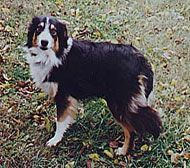 Farm Dog Breed - The English Shepherd dog breed has a calm steadiness, keen senses and is intelligent, making it an excellent breed for livestock herding.