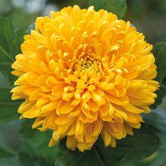 Chrysanthemum 'Astro' great for Mosquitos