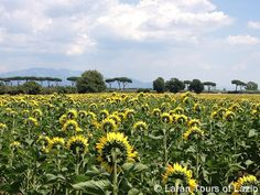 Beautiful fields of sunflowers in the Latina province countryside! These ones were particularly camera-shy.