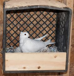 difference between a successful person and others is not a lack of strength, not a lack of knowledge, but a lack of will. Pigeon Nest, Pet Pigeon, White Pigeon, Dove Pigeon, Pigeon House, Homing Pigeons, Bird Houses Diy, Nesting Boxes, Bird Cages