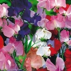 Old Spice Sweet Pea Flower Seeds