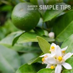 Are Your Citrus Trees Flowering? Time to Feed This Week. | Garden Club