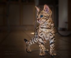 prying  Bengal kitten by Dalia Fichmann on 500px