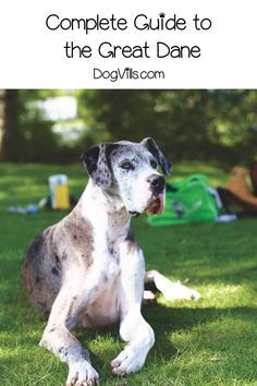 The Great Daneis A Dog That S As Big On Heart As It Is Just Plain