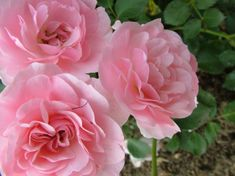 rose flowers - Google Search