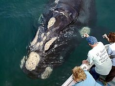 View a list of our whale watching operators in Hermanus, South Africa - Dirty Boots Whale Watching Season, Whale Watching Tours, V&a Waterfront, Close Encounters, Great White Shark, Travel Companies, Marine Life, Cape Town, Kayaking