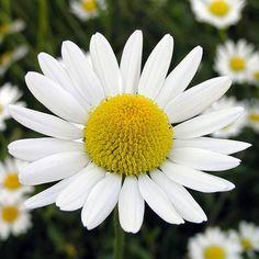 Camomille jolie fleurs blanches pour le Cancer.