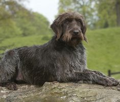 Looking for an intelligent hiking or running buddy? Meet the Wirehaired Pointing Griffon.