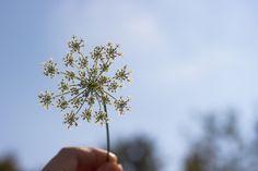 Made for tea. by Anca Anghel on Dandelion, Tea, Flowers, Plants, Dandelions, Plant, Taraxacum Officinale, Royal Icing Flowers, Flower