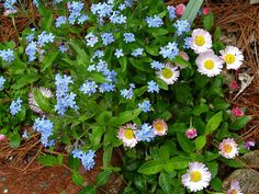 English Daisies (Bellis perennis) & Forget-me-nots (Mysotis spp)