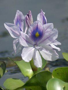 Fleurs Aquatiques flottantes. - Detoutetnimportequoi